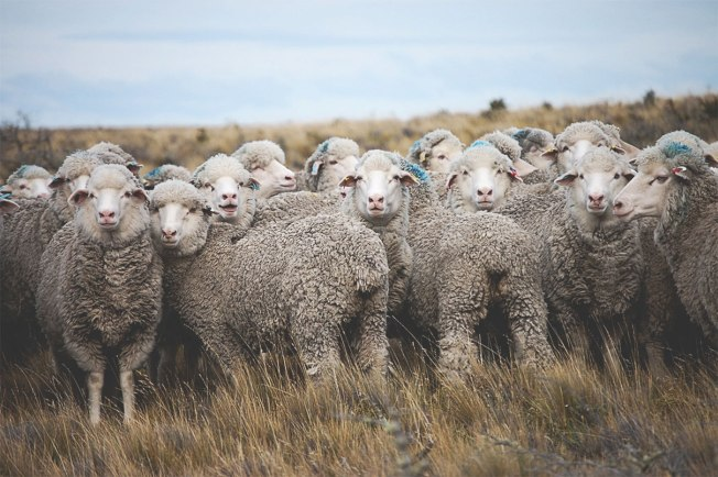 woolfolk_sheep_2